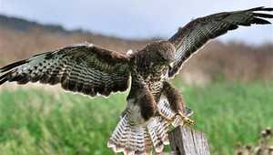 Victory for gamekeeper in High Court fight to manage birds of prey