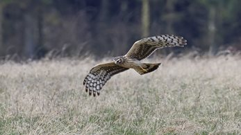 2020 - a record year for hen harrier breeding