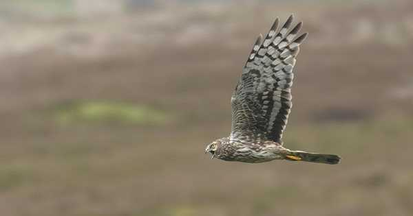 Investigation: RSPB prevents the southern reintroduction of hen harriers
