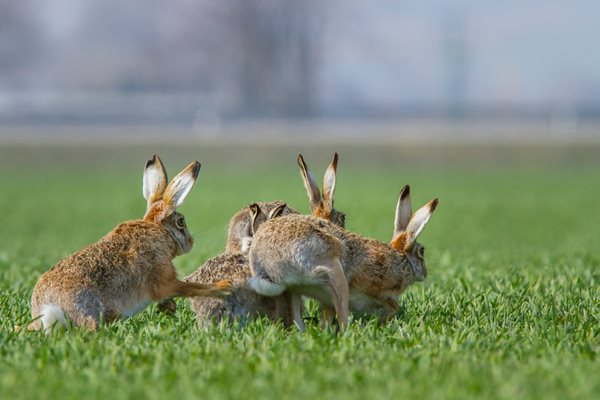 Countryside Alliance respond to DEFRA's proposal to 'introduce a close season for hares'