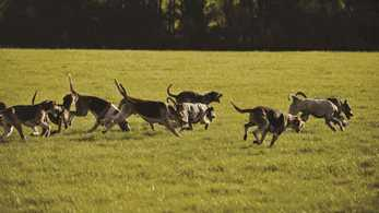 How trail hunting has secured a future for packs of hounds