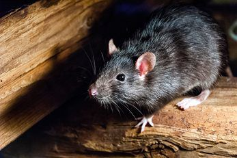 Council criticised for banning lethal pest control