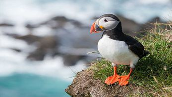 'Brits' flocking to Iceland to 'shoot puffin' in droves shown to be a false story