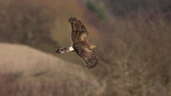 Tim Bonner: RSPB sabotages hen harrier reintroduction