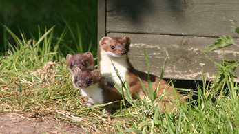 Natural Resources Wales issue General Licence for stoat trapping