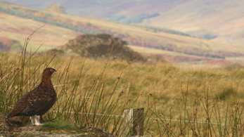 Werritty Report suggests seismic change for Scottish grouse moors