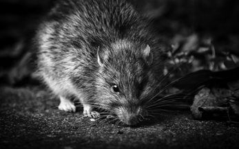 Tim Bonner: The town that banned killing rats